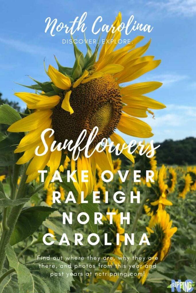 Sunflower Field Near Raleigh NC