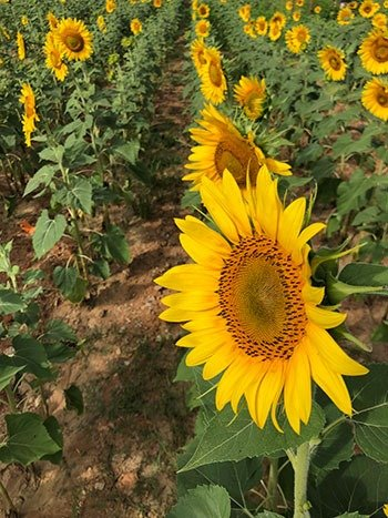 Dix Park Raleigh NC Sunflowers Image