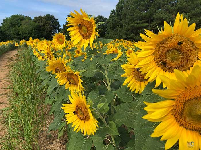 Dorothea Dix Park Raleigh NC Sunflowers Image
