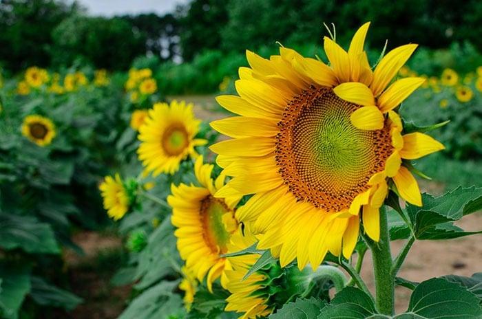 Sunflowers Field Raleigh NC Dorothea Dix Park Image