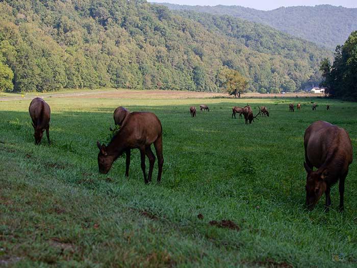 Things to Do near Cherokee NC Smoky Mountain Elk Image