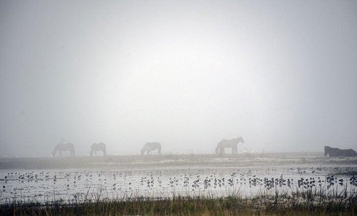 Rachel Carson Reserve Wild Horses in NC Image