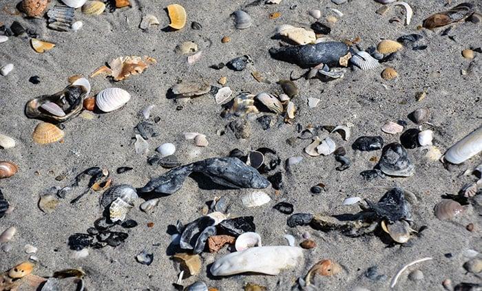 Shells at Rachel Carson Reserve NC Image
