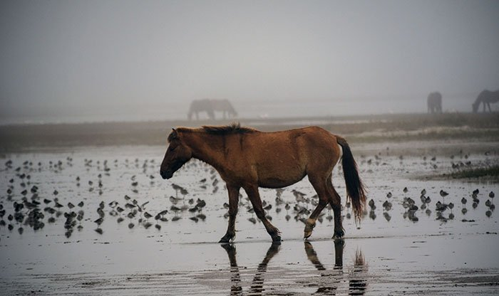 Wild Horses North Carolina Rachel Carson Reserve Image