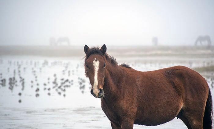 Wild Horses in North Carolina near Beaufort Image