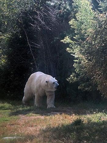 NC Zoo Polar Bear Image
