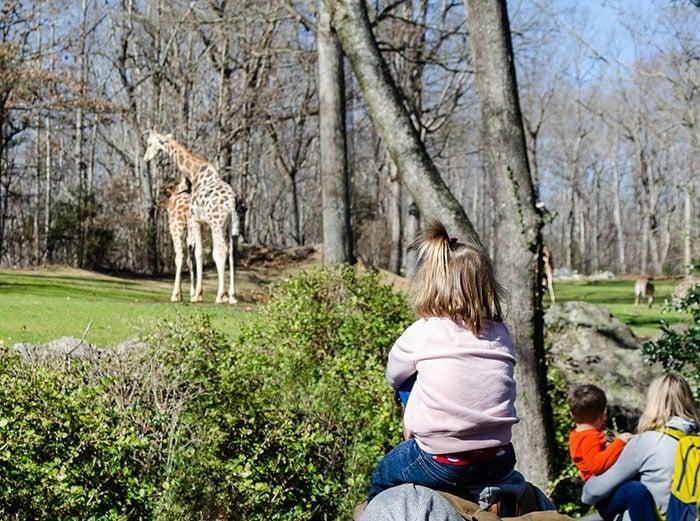 North Carolina Zoo Giraffe Image