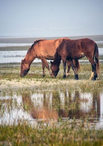 Two Horses at Rachel Carson Reserve