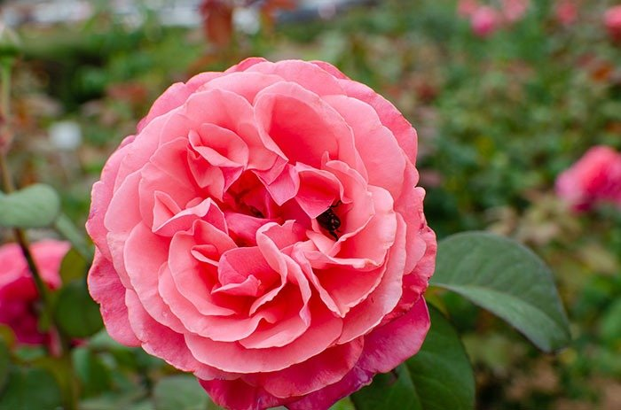 The Fayetteville Rose Garden wins for the smallest of our outdoor attractions in Fayetteville.