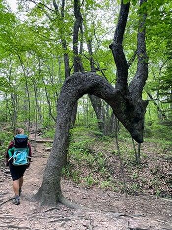 Walking Past the Dragon Tree on Skinny Dip Falls Hike