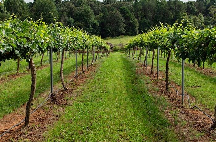 muscadine picking in NC vineyard
