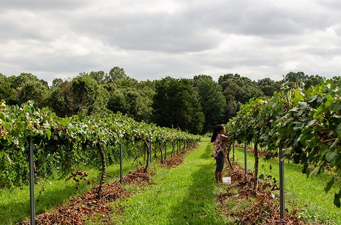 where to pick muscadine grapes in NC