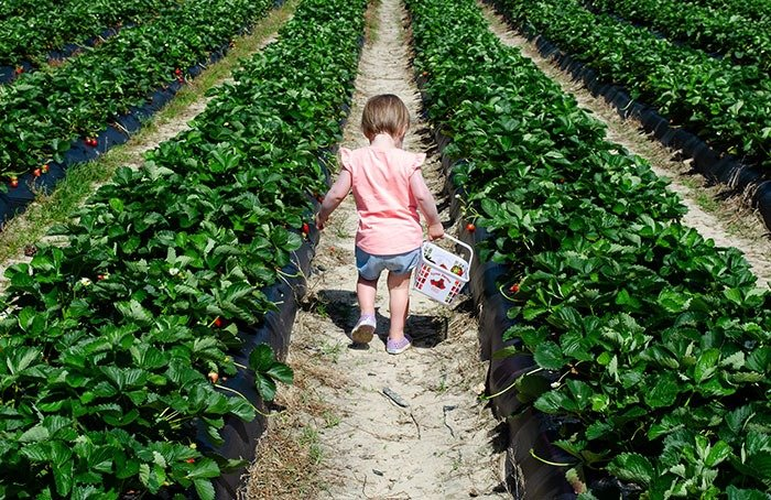 We love strawberry picking in North Carolina but think when you go is just as important as where.