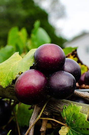 Muscadine Grapes come in all shapes and sizes, as you'll feel when picking them.