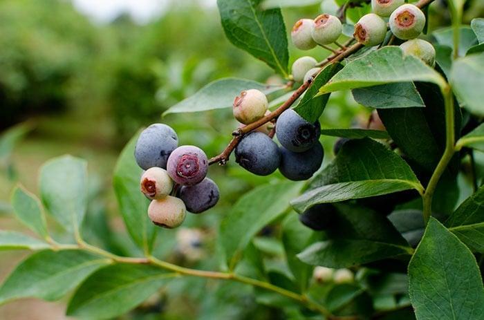 Carter Blueberry Farm NC