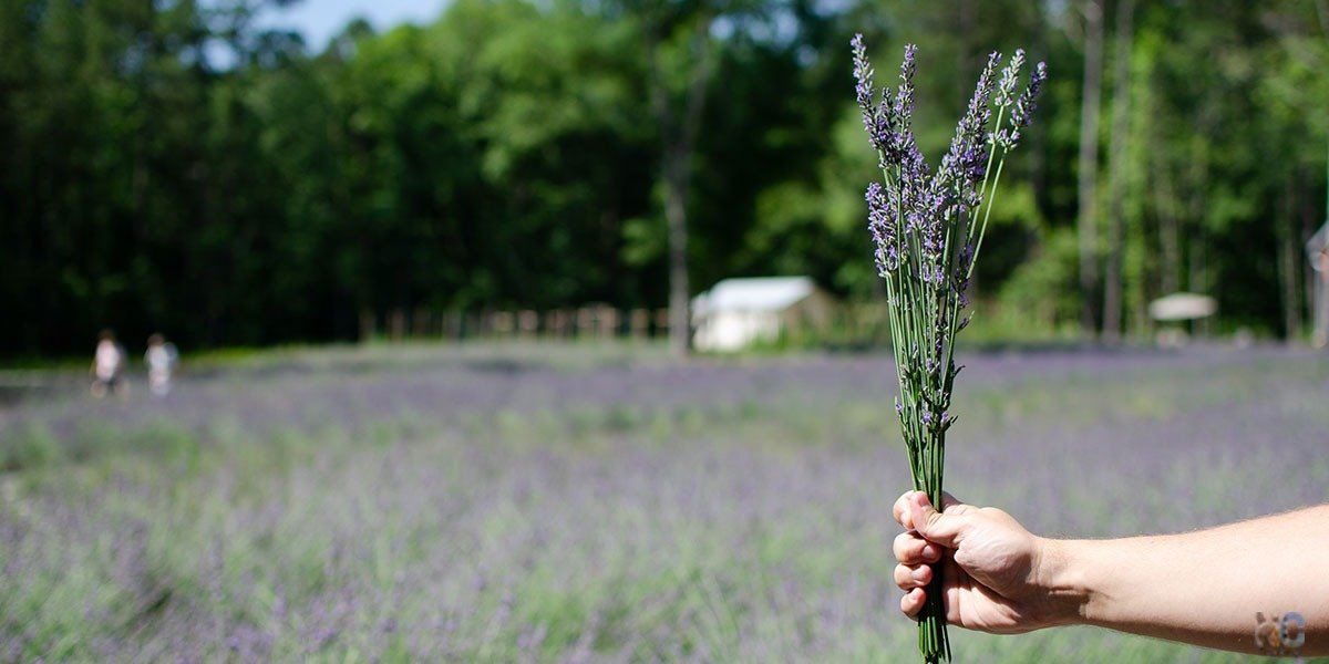 Lavender farms in north carolina