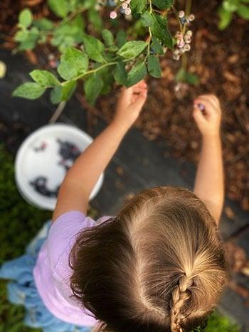 Picking Blueberries in North Carolina